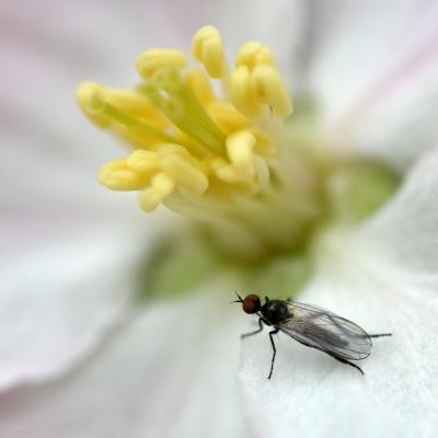 5-Mouche sur fleur de Pommier. Tirages disponibles.