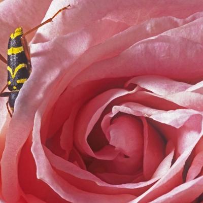 9-Style Bélier et rose. Tirages disponibles