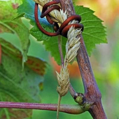 Vigne des Arpents du Soleil. Grisy 14 (5)