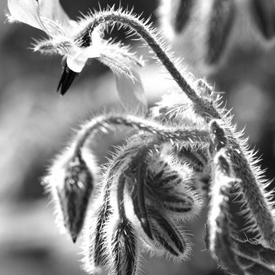 Bourrache en noir et blanc