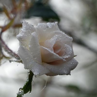 Rose sans épine photo du mois