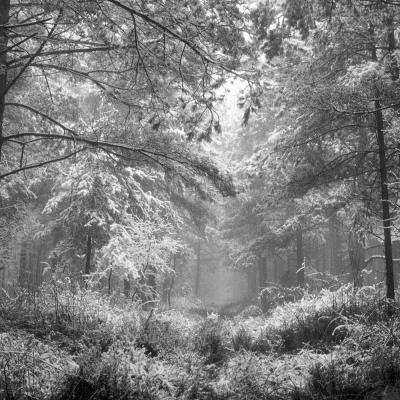 Forêt du Billot sous la neige